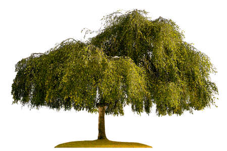 genealogical: birch tree silhouette isolated on white background