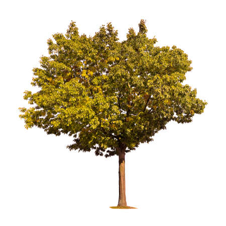 genealogical: tree silhouette isolated on white background