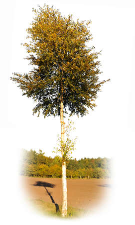 tree isolated: birch tree isolated on white background