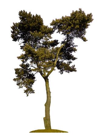 pinetree: aislados de �rboles de pino sobre un fondo blanco Vectores
