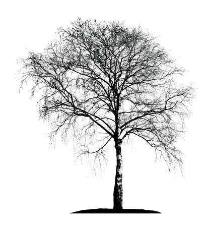흰색 배경에 자작 나무 실루엣