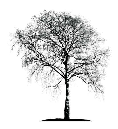 birch silhouette on a white background Illustration