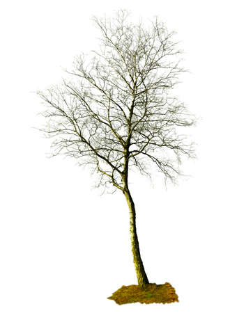 bareness: birch silhouette on a white background Illustration