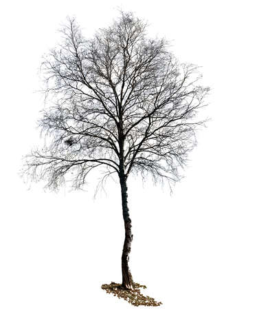 secluded: birch tree isolated on white background