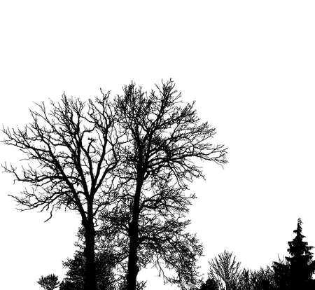 bough: Realistic oak tree silhouette (Vector illustration) .Eps10 Illustration