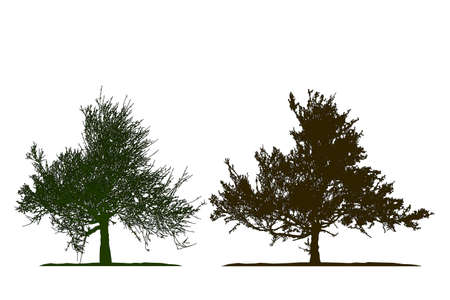 Realistic tree silhouette .Tamarix gallica on white background
