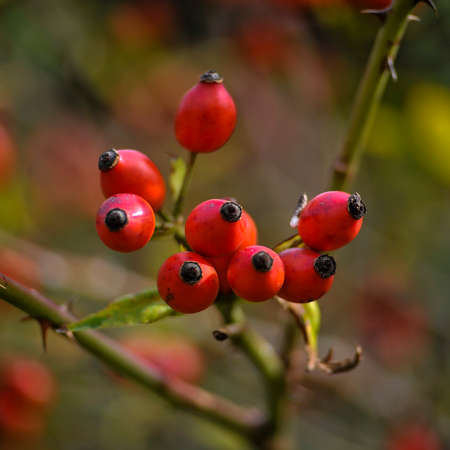 Rosehip. Brier Branch. Stock Photo