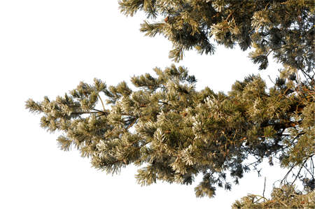 Pine branches close-up, natural silhouette in the frost on a white background.