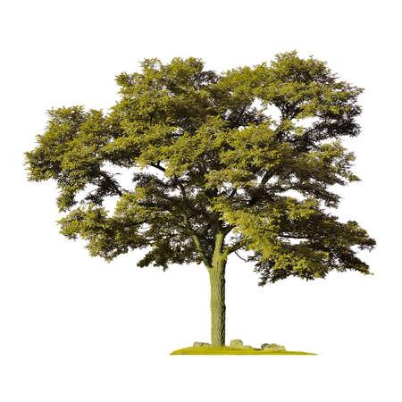 Acacia silhouette on a white background Stockfoto