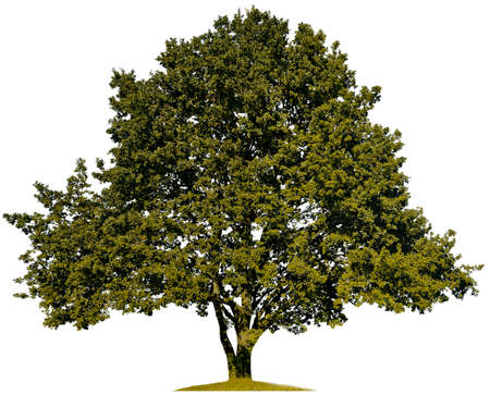 Silhouette of green oak on a white background