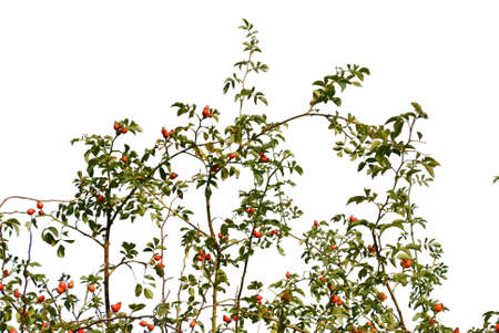 Rosehip. Brier Branch silhouette close up on white background.