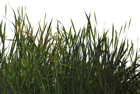 Silhouette of a green cattail on a white background.Grass silhouettes on white background.
