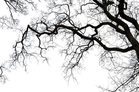 Oak tree branch silhouette on white background