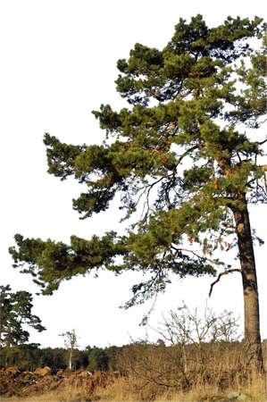 Pine tree silhouette on white background.