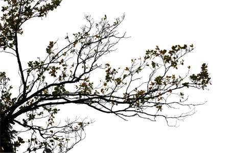 Natural oak tree branch silhouette on white background Stockfoto