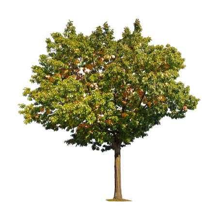 Summer maple tree isolated on white Stockfoto