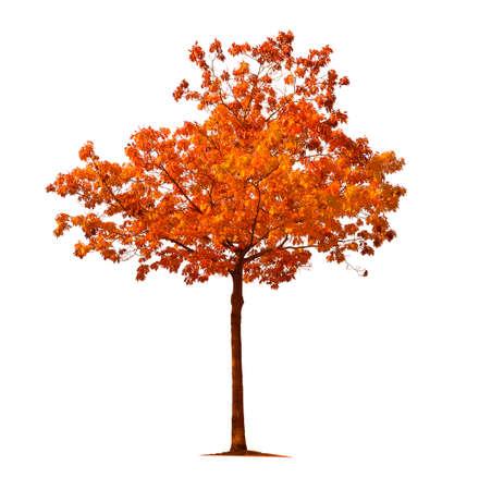 Orange autumn maple tree isolated on white