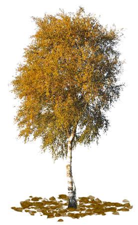 Birch tree silhouette close up on white background. Stockfoto