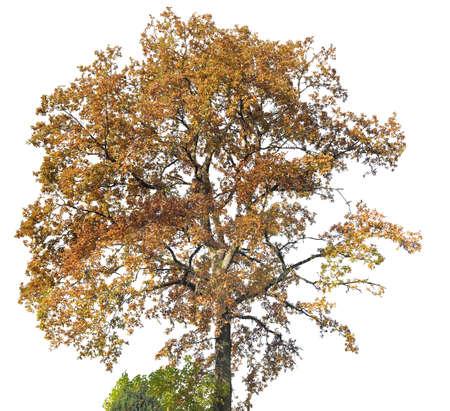 Oak tree silhouette on white