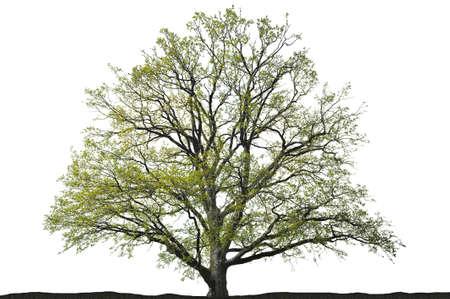 Oak tree silhouette on white background