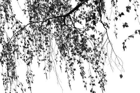 Birch tree silhouette close up on white background. Lueneburg Heath Germany. Stockfoto