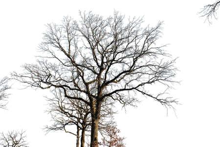 Silhouette of oak on a white Stockfoto
