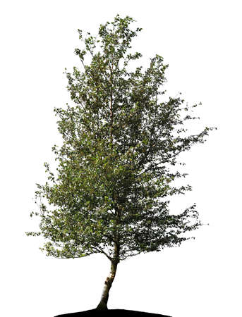birch tree silhouette on white background