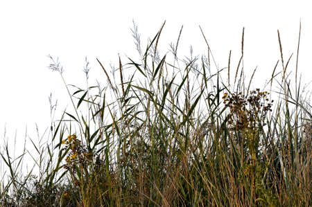 Grass silhouettes from nature on white