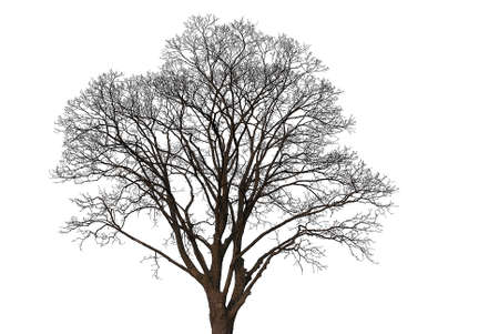 silhouette of an old linden tree without leaves on a white background