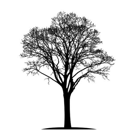 silhouette of a natural old linden tree without leaves