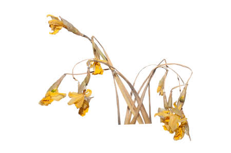 dried daffodils on a white background