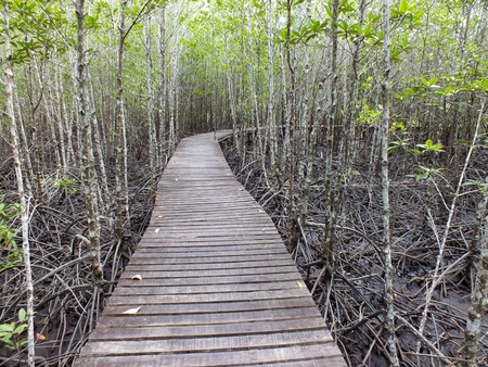 Nature Trail in Mangrove forest Stock Photo - 13198273