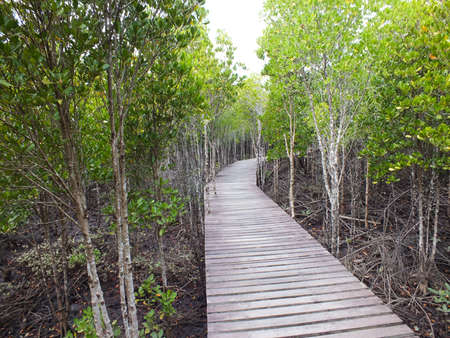 Nature Trail in Mangrove forest Stock Photo - 13198270