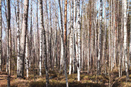 Grove of birch trees and dry grass in early autumn with cold sun rays
