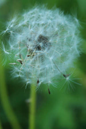 Close up view of Dandelion