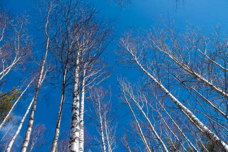 Image of trees without leaves with crystal blue sky without clouds. Photo of trees without foliage from the bottom down