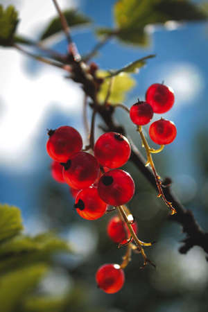 Branch of red currants on a blured natural background with sun