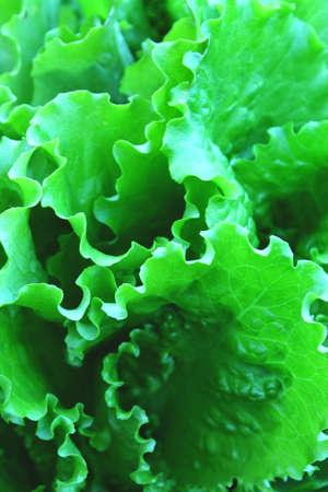 Green fresh salads vegetable leaf. Organic food for health concept. Zdjęcie Seryjne - 122949455