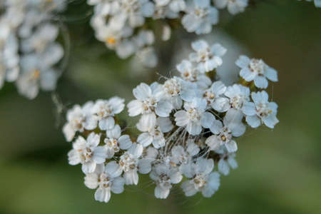 Close view of a bunch of little white flowers in summer day Zdjęcie Seryjne