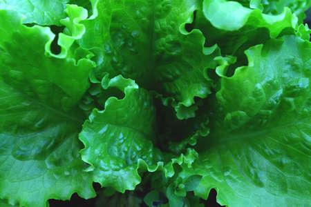 Green fresh salads vegetable leaf. Organic food for health concept.