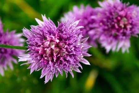 Close view of purple flowers of aster dumosus Zdjęcie Seryjne