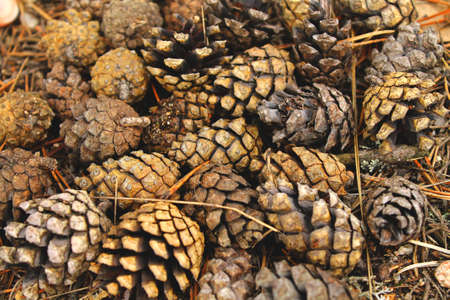 Close up of a bunch of pine cones as a background