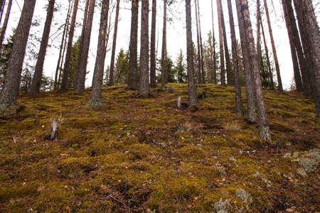 Sosny rosnące na stromym zboczu w lesie wczesną jesienią