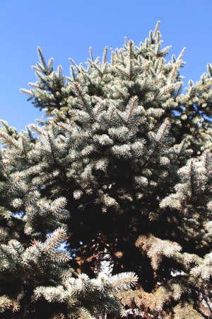Close up of a blue spruce tree, blue sky Zdjęcie Seryjne
