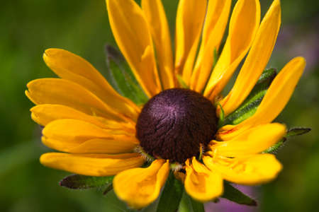 close up yellow colored flower blooms like chamomile growing in summer garden isolated on green blurry background