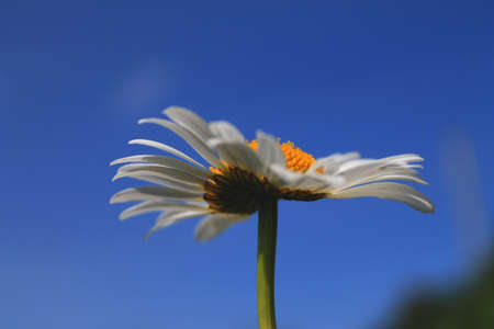 Close view of camomile flower in summer day
