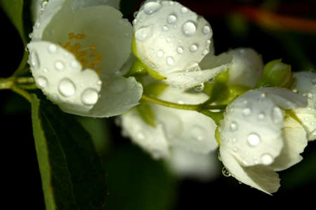 White flowers of blooming cherry spring background with water drops