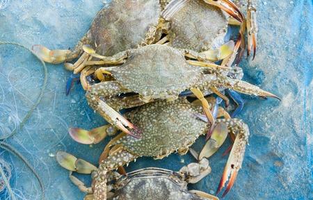 cangrejo: Cangrejo azul sin procesar en el pescador neta azul