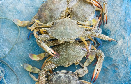 blue crab: Raw blue crab on the blue net fisherman