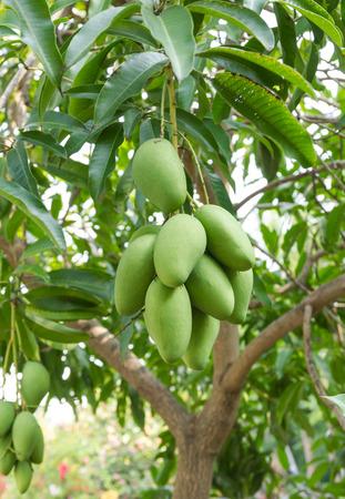 mango: świeże zielone mango na drzewie Poczekaj na żniwa Zdjęcie Seryjne